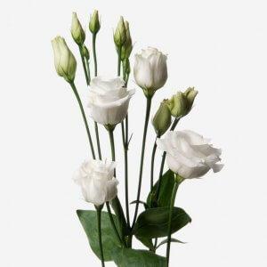 White Lysianthus