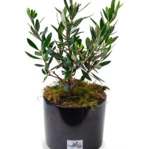 OLIVE TREE MINI